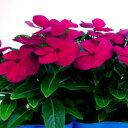 ■良品花壇苗■秋山さんの 日々草ダークレッド10.5cmポッ...