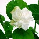 ■新鮮花壇苗■八重咲きマツリカジェイド (ジャスミン) 10.5cmロングポット05P09Jul16