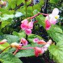季節の花苗シュウカイドウ■新鮮花壇苗■シュウカイドウ10.5cmポット