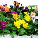 ■新鮮花壇苗■ビオラおまかせ8個セット10.5cmポット