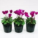 ■新鮮花壇苗■ガーデンシクラメン紫花系