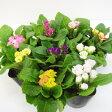■新鮮花壇苗■バラ咲きプリムラプリムラ ジュリアンキャンディーインブライド 9cmポット