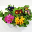■新鮮花壇苗■プリムラ ジュリアン9cmポット苗花色選べる3個セット