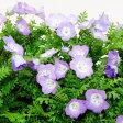 オフシーズン■新鮮花壇苗■ネモフィラ パープル9cmポット苗