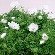■新鮮花壇苗■ネモフィラ ホワイト9cmポット苗