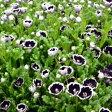 ■新鮮花壇苗■ネモフィラ ブラック10.5cmポット苗