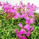 アイビーゼラニウム■新鮮花壇苗■アイビーゼラニウムフランシスパーマター9cmポット