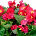 ■新鮮花壇苗■ベゴニア センパフローレンスレッド10.5cm...