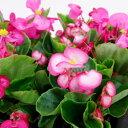 ■新鮮花壇苗■ベゴニア センパフローレンスピンク系10.5c...