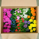 SALE!■新鮮花壇苗■1苗あたり99円!かわいい花苗おまかせ20個セット4種×5個ずつ