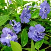 ■新鮮花壇苗■ヒメツルニチニチソウブルーダブル10.5cmポット3個セット
