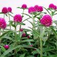 ■新鮮花壇苗■千日紅(センニチコウ)ラズベリーフィールド10.5cmポット苗