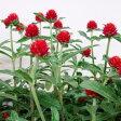■新鮮花壇苗■千日紅(センニチコウ)ストロベリーフィールド10.5cmポット苗 05P09Jul16
