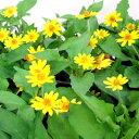 ■新鮮花壇苗■メランポジウム10.5cmポット
