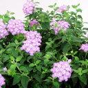 ■良品花壇苗■コバノ ランタナ パープル10.5cmポット