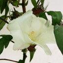 季節の花苗ミニコットン■新鮮花壇苗■ミニコットン綿花子(わたがし)10.5cmポット