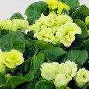 ■新鮮花壇苗■八重咲きプリムラマスカットのジュレ10.5cmポット
