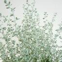 ■新鮮花壇苗■オレアリアリトルスモーキー3号ポット