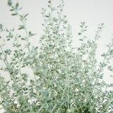 ■新鲜花坛苗■oreariaritorusumoki3号水壶[■新鮮花壇苗■オレアリアリトルスモーキー3号ポット]