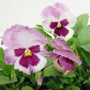 【ご予約商品♪ご予約区分B】■良品花壇苗■秋山さんのパンジーピーチ10.5cmポット