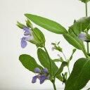 ■宿根草■サルビア オフィシナリス ブルー(コモンセージ)10.5cmポット