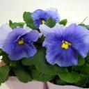 【ご予約商品♪ご予約区分B】■良品花壇苗■秋山さんのパンジーライトブルー10.5cmポット