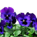 【ご予約商品♪ご予約区分B】■良品花壇苗■秋山さんのパンジーデニム10.5cmポット