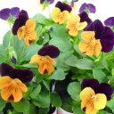 【ご予約商品♪ご予約区分B】■良品花壇苗■ワダフラワーのビオラオレンジジャンプアップ10.5cmポット苗
