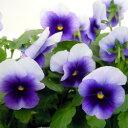 【ご予約商品♪ご予約区分B】■良品花壇苗■ワダフラワーのビオラビーコンフィールド10.5cmポット苗