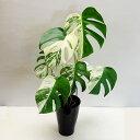 ■観葉植物■モンステラ 斑入り6号鉢