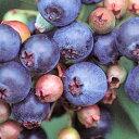 ■良品果樹苗■ブルーベリーホームベル5号ポット