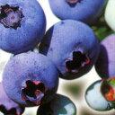 ■良品果樹苗■ブルーベリーハイブッシュ系ジャージー5号ポット苗