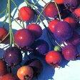 ■良品果樹苗■赤い実が美しいジューンベリーバレリーナ7号鉢