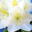 清々しさを感じる白色の花。中心にはいる黄緑色のドットが爽やかさを運びます。寒さに強い品種...