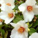 ■良品庭木■快い香り!バイカウツギベルエトワール6号鉢