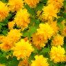 オフシーズン 花木■良品庭木■珍しい八重咲き!八重ヤマブキ6号鉢