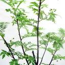 ■良品庭木■朝倉サンショウ5号ポット