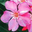 ■良品庭木■キョウチクトウパンクタタム12cmポット