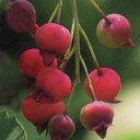 ■良品果樹苗■赤い実が美しいジューンベリースノーフレイクス15cmポット苗
