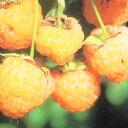 ■良品果樹苗■イエローラズベリー5号ポット苗
