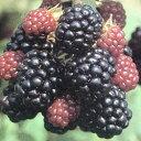 ■良品果樹苗■ブラックベリー5号ポット