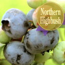 ■良品果樹苗■ブルーベリー【果実の大きさ最大品種】チャンドラー5号ポット苗