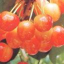 ■良品果樹苗■サクランボ ナポレオン5号ポット