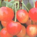 ■良品果樹苗■サクランボ 佐藤錦5号ポット