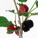 ■良品果樹苗■スイートマルベリー10.5cmポット10P03Sep16