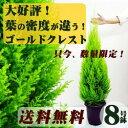 《送料無料》■良品庭木・植木■葉の密度が違う! ゴールドクレスト 8号鉢