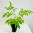 ■良品庭木■トゲなしタラ5号鉢