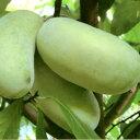 ■良品果樹苗■ポポーノキミッチェル 接木苗5号鉢植え
