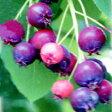 オフシーズン■良品果樹苗■赤い実が美しいジューンベリーロビンヒル15cmポット苗