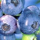 ■良品果樹苗■ブルーベリーコリンズ5号ポット